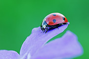 Longhorn Photos - Close-up Of Ladybug by Radius Images