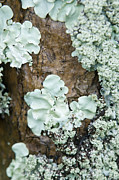 Lichen Image Framed Prints - Close-up Of Lichen Growing On The Trunk Of A Tree Framed Print by Design Pics/Allan Seiden