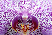 Latin America Prints - Close Up Of Orchid Flower Print by Oliver Santana Martnez