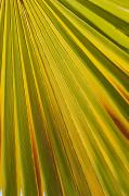 Backlit Prints - Close Up Of Palm Leaf Backlit And Print by Michael Interisano