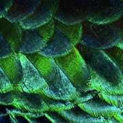 Animal Themes Prints - Close Up Of Peacock Feathers Print by MadmT