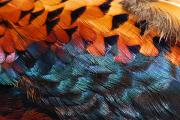 Pheasants Framed Prints - Close Up Of Pheasant Feathers Showing Framed Print by Darlyne A. Murawski