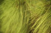 Kicka Witte Art - Close-up of Pine by Kicka Witte - Printscapes