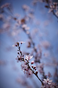 Pink Flower Branch Art - Close Up Of Pink Cherry Blossoms On Tree by Ron Bambridge