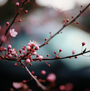 Pink Flower Branch Prints - Close-up Of Plum Blossoms Print by Danielle D. Hughson