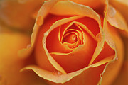 Vancouver Photos - Close Up Of Rose by Junichi Ishito