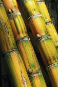 Arrange Posters - Close-Up Of Sugar Cane Poster by Dana Edmunds - Printscapes
