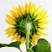 Studio Shot Art - Close up of sunflower. by Bernard Jaubert