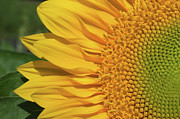 Zurich Prints - Close Up Of Sunflower Print by Yago Veith