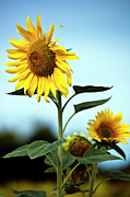 Floral Metal Prints - Close Up Of Sunflowers Metal Print by Philippe Doucet