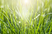 Flare-up Prints - Close-up Of Sunlit Grass With Dew Drops Print by Kathy Collins