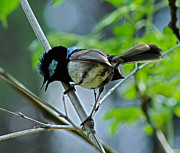Joanne Kocwin Photo Posters - close up of Superb Fairy-wren Poster by Joanne Kocwin