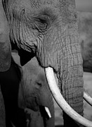 Kenya National Park Prints - Close Up Of Two Elephants Print by Achim Mittler, Frankfurt am Main