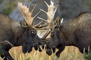 Animal Behavior Art - Close-up Of Two Moose Locking Horns by Roy Toft