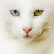 Yellow Eyes Posters - Close Up Of White Cat Poster by Blink