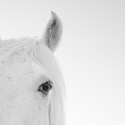 Looking At Camera Art - Close Up Of White Horse by John Harper