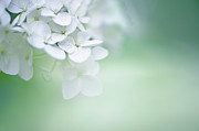 White Flower Acrylic Prints - Close Up Of White Hydrangea Acrylic Print by Elisabeth Schmitt