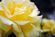 Infidelity Photos - Close Up of Yellow Rose by Ed Churchill
