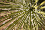 Sedona Prints - Close Up Of Yucca Plant Sedona, Arizona Print by John Burcham