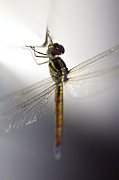 Flying Insect Posters - Close up shoot of a anisoptera dragonfly Poster by Ulrich Schade