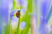 Ladybeetle Photos - Close up shoot of a ladybug by Ulrich Schade