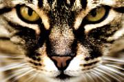 Close Up Shot Of A Cat Print by Fabrizio Troiani
