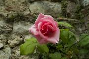 Life In Italy Prints - Close-up View Of A Pink Rose Blossom Print by Todd Gipstein