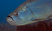 Tropical Fish Posters - Close-up View Of A Tarpon Off The Coast Poster by Michael Wood