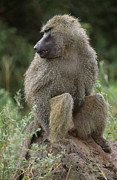 Monkeys Prints - Close View Of A Baboon In Profile Print by Richard Nowitz