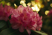 Rhododendron Flowers Framed Prints - Close View Of A Blooming Rhododendron Framed Print by Raymond Gehman