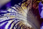 Petunia Photos - Close View Of A Blue Petunia In Bloom by Todd Gipstein