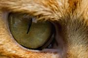 Photography Of Cats Prints - Close View Of A Cats Eye Print by Todd Gipstein