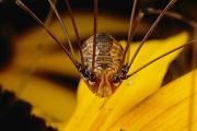 Harvestmen Photos - Close View Of A Daddy Longlegs by Darlyne A. Murawski