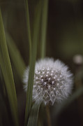 Pods Framed Prints - Close View Of A Dandelion That Has Gone Framed Print by Annie Griffiths