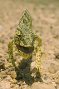 Flap Prints - Close-view Of A Flap-necked Chameleon Print by Jason Edwards