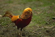 Pheasants Prints - Close View Of A Golden Pheasant Print by Joel Sartore
