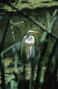 Garden Animals Posters - Close View Of A Great Egret Poster by Medford Taylor