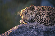 Republic Of South Africa Prints - Close View Of A Leopard Sunning Himself Print by Kim Wolhuter