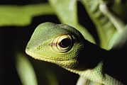 Lizards Photos - Close View Of A Lizard by Carsten Peter