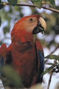 Scarlet Posters - Close View Of A Macaw Parrot Poster by Frank And Helen Schreider