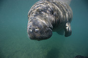Crystal River Framed Prints - Close View Of A Manatee Framed Print by Nick Norman
