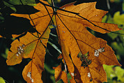 Physiology Art - Close View Of A Maple Leaf In Autumn by Marc Moritsch