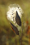 Pods Framed Prints - Close View Of A Milkweed Pod Gone Framed Print by Phil Schermeister