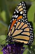 Danaus Plexippus Prints - Close View Of A Monarch Butterfly Print by Todd Gipstein