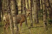 Cypress Hills Provincial Park Prints - Close View Of A Mule Deer In An Alberta Print by Raymond Gehman