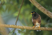 Starlings Metal Prints - Close View Of A Mynah Bird Perched Metal Print by Tim Laman