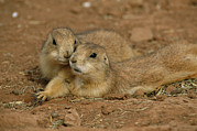 Prairie Dogs Prints - Close View Of A Pair Of Prairie Dogs Print by Annie Griffiths
