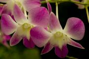 Orchids Posters - Close View Of A Pink Orchid Flowers Poster by Todd Gipstein