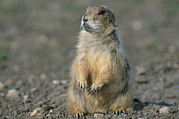 Prairie Dogs Prints - Close View Of A Prairie Dog Print by Annie Griffiths