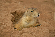 Prairie Dogs Prints - Close View Of A Prairie Dog Emerging Print by Annie Griffiths